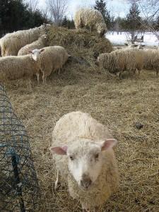 Cute Ewes