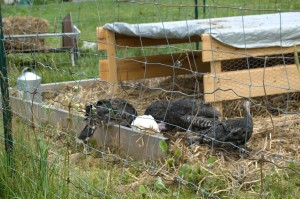 Turkeys New Home