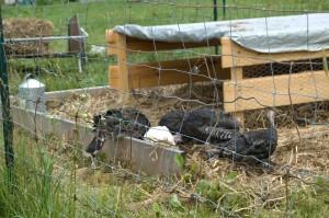 Turkeys New Home