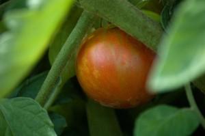Yummy Ripe Tomato
